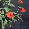 Red Zinnia Flowers by Kim Hojnacki