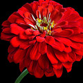 Red Zinnia by Sandy Keeton