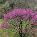 Redbud And Field In Jefferson County by Greg Matchick