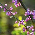 Redbud Bloom  by Katelyn Johnson