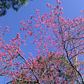Redbud In Bloom by Laura Martin
