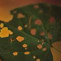 Redbud In Fall by Randy Muir
