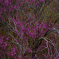 Redbud In The Spring Woods by Thomas R Fletcher