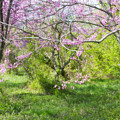 Redbud Trees 1 by Chris Scroggins