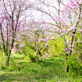Redbud Trees 2 by Chris Scroggins