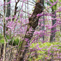 Redbud Trees 3 by Chris Scroggins
