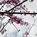 Redbuds In The Mist by Maria Urso