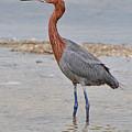 Reddish Egret by Alan Lenk