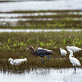 Reddish Egret by Barb Thompson