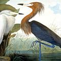 Reddish Egret, by Granger
