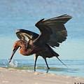 Reddish Egret Nabs A Fish by Barbara Bowen