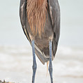 Reddish Egret Stands Tall by Benjamin Andersen