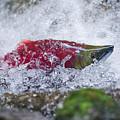 Redfish  by Joy McAdams