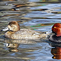 Redhead Duck Pair by Timothy Flanigan
