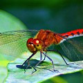 Redheaded Dragonfly by Barbara S Nickerson
