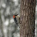 Redheaded Woodpecker by George Jones