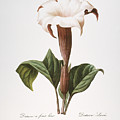 Redoute: Datura, 1833 by Granger
