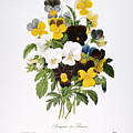 Redoute: Pansy, 1833 by Granger