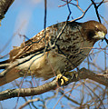 Redtail Among Branches by William Selander