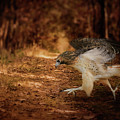 Redtail Morning Run Hawk Art by Jai Johnson