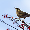 Redwing  - 2 by Chris Smith