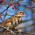 Redwing With Berry by Bob Kemp