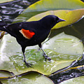Redwinged Black Bird On A Lily Pad by Nick Gustafson