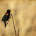 Redwinged Blackbird by Eleanor Abramson