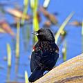 Redwinged Blackbird by Kenneth Albin