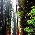 Redwood Forest 5 by Steve Ohlsen