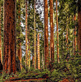 Redwood Forest Landscape by Jeffrey Schwartz