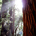 Redwood Sunlight by Mary Rogers