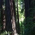Redwood Trail by Dylan Punke