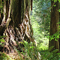Redwood Tree Art Prints Redwoods Forest by Baslee Troutman