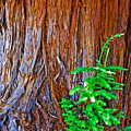 Redwood Tree Trunk At Pilgrim Place In Claremont-california   by Ruth Hager