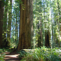 Redwood Trees Forest California Redwoods Baslee by Baslee Troutman