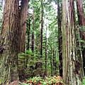 Redwood5 by George Arthur Lareau