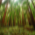 Redwoods by Donna Blackhall