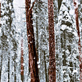 Redwoods In Snow by Karen  W Meyer