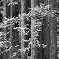 Redwoods Ir 0625 by Bob Neiman