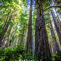 Redwoods National Forrest Trees Of Mistery by Anthony Lindsay