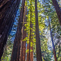 Redwoods Of Muir Woods by Jack Yang