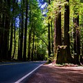 Redwoods Road by Anthony Lindsay