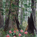Redwoods by Sylvia Stone