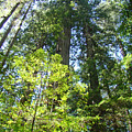 Redwoods Trees Forest Art Prints Baslee Troutman by Baslee Troutman