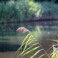 Reed by Barend Van Wieringen