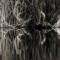 Reeds And Heron by Steven Sparks
