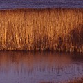 Reeds by Paul Borden