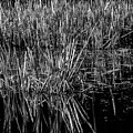 Reeds Reflection  by Donna Lee