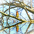 Refection Of Cedar Waxwing by Geraldine Scull